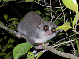 Fat-tailed_Dwarf_Lemur
