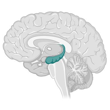 Hippocampus (2)
