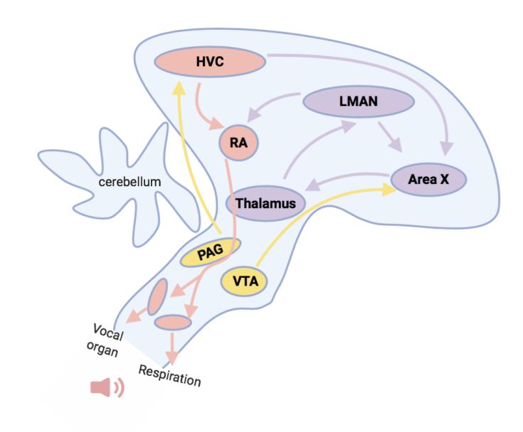 birdsong_brain_pathways