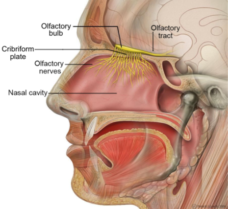 Head_Olfactory_Nerve_Labeled